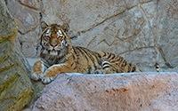 Tigre al Bioparco (Roma)