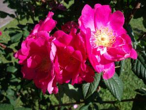 Rosa aperta di colore rosa acceso con pistilli gialli